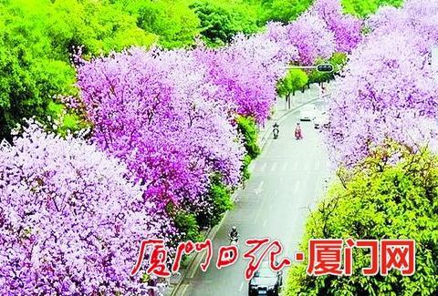 春天,五缘湾是浪漫的粉色